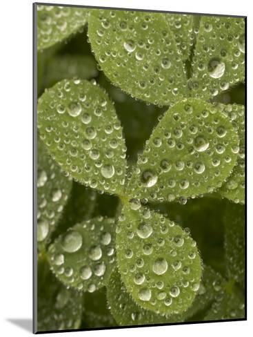 Tiny Dew Droplets on a Clover Plant in the Early Morning-Phil Schermeister-Mounted Photographic Print