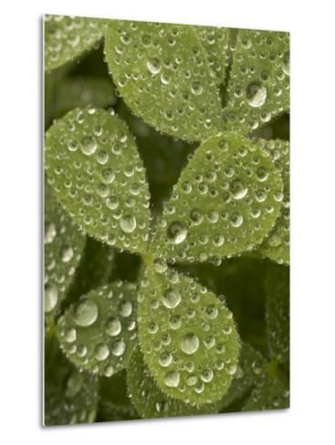 Tiny Dew Droplets on a Clover Plant in the Early Morning-Phil Schermeister-Metal Print