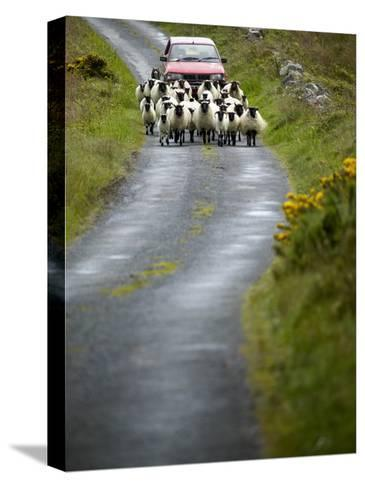 In Irish Shepherd Herds His Flock of Sheep, Clare Island, County Mayo, Ireland-Pete Ryan-Stretched Canvas Print