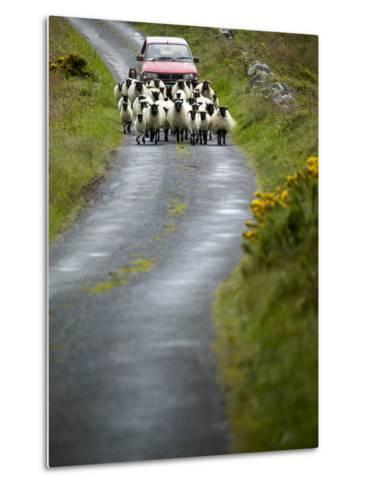 In Irish Shepherd Herds His Flock of Sheep, Clare Island, County Mayo, Ireland-Pete Ryan-Metal Print