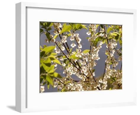 Mountain Silverbell Flowers, Jamaica Plain, Massachusetts USA-Darlyne A^ Murawski-Framed Art Print