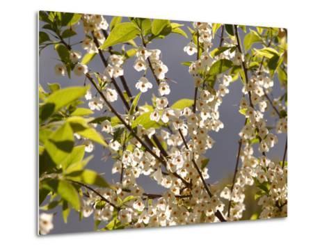 Mountain Silverbell Flowers, Jamaica Plain, Massachusetts USA-Darlyne A^ Murawski-Metal Print