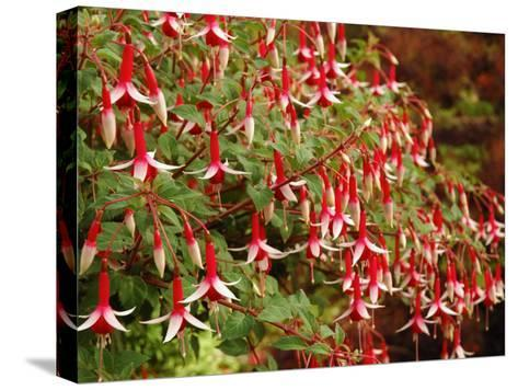 Fuchsia Flowers in a Vancouver Garden, Vancouver, BC, Canada-Darlyne A^ Murawski-Stretched Canvas Print