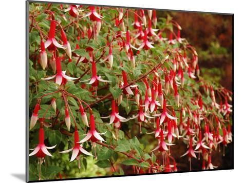 Fuchsia Flowers in a Vancouver Garden, Vancouver, BC, Canada-Darlyne A^ Murawski-Mounted Photographic Print