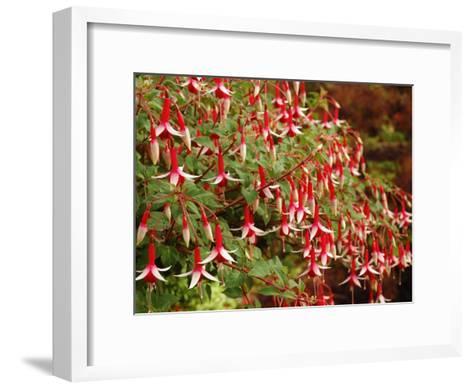 Fuchsia Flowers in a Vancouver Garden, Vancouver, BC, Canada-Darlyne A^ Murawski-Framed Art Print
