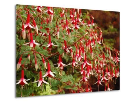 Fuchsia Flowers in a Vancouver Garden, Vancouver, BC, Canada-Darlyne A^ Murawski-Metal Print