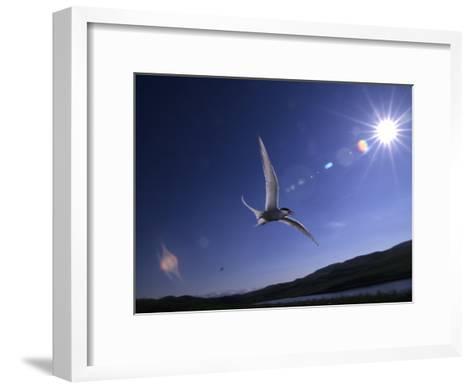 Artic Tern over Alaskan Tundra, Alaska, United States-Michael S^ Quinton-Framed Art Print
