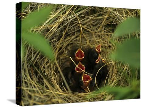 Savannah Sparrow Nest on Ground, Alaska, United States-Michael S^ Quinton-Stretched Canvas Print