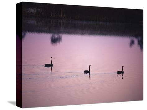 Black Swans Glide across a Misty, Still Wetland Surface before Dawn-Jason Edwards-Stretched Canvas Print