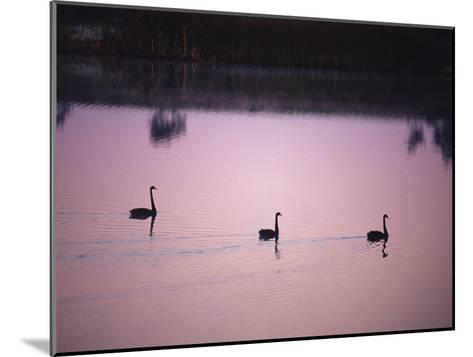 Black Swans Glide across a Misty, Still Wetland Surface before Dawn-Jason Edwards-Mounted Photographic Print