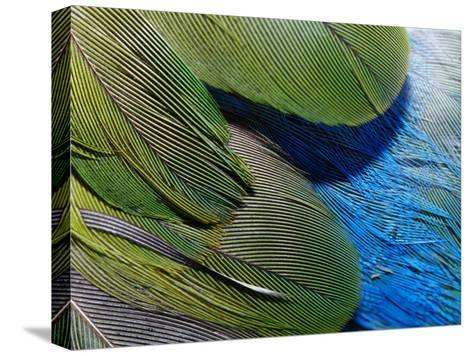 Detailed View of the Texture of the Feathers of a Red-Winged Parrot-Jason Edwards-Stretched Canvas Print