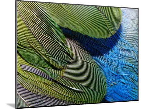 Detailed View of the Texture of the Feathers of a Red-Winged Parrot-Jason Edwards-Mounted Photographic Print