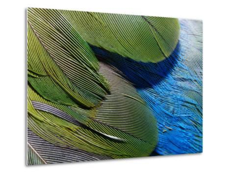 Detailed View of the Texture of the Feathers of a Red-Winged Parrot-Jason Edwards-Metal Print