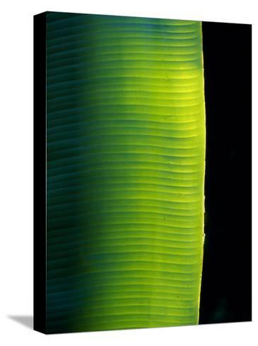 Ray of Sunshine Pierces the Darkness and Illuminate a Banana Leaf, Julatten, Queensland, Australia-Jason Edwards-Stretched Canvas Print