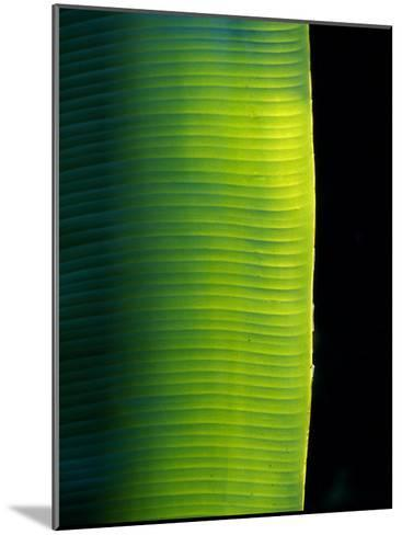 Ray of Sunshine Pierces the Darkness and Illuminate a Banana Leaf, Julatten, Queensland, Australia-Jason Edwards-Mounted Photographic Print