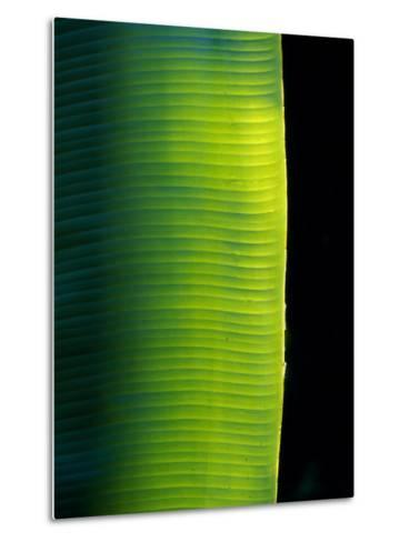 Ray of Sunshine Pierces the Darkness and Illuminate a Banana Leaf, Julatten, Queensland, Australia-Jason Edwards-Metal Print