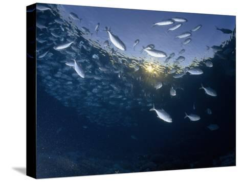School of Bigeye Trevally with Setting Sun Shining Through Water, Sulawesi, Indonesia-Paul Sutherland-Stretched Canvas Print