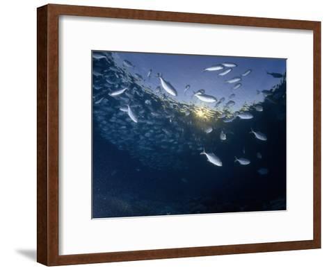 School of Bigeye Trevally with Setting Sun Shining Through Water, Sulawesi, Indonesia-Paul Sutherland-Framed Art Print