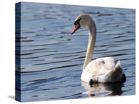 Mute Swan Swimming, an Invasive Species in USA, Arlington, Massachusetts, USA-Darlyne A^ Murawski-Stretched Canvas Print