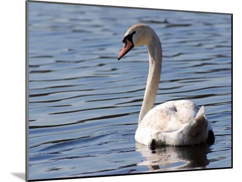 Mute Swan Swimming, an Invasive Species in USA, Arlington, Massachusetts, USA-Darlyne A^ Murawski-Mounted Photographic Print