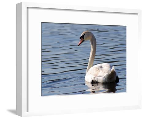 Mute Swan Swimming, an Invasive Species in USA, Arlington, Massachusetts, USA-Darlyne A^ Murawski-Framed Art Print