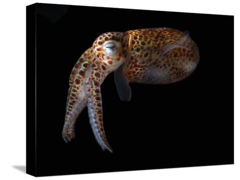 Dwarf Cuttlefish, Sepiola Species, it Has an Internal Shell, Derawan Island, Borneo, Indonesia-Darlyne A^ Murawski-Stretched Canvas Print