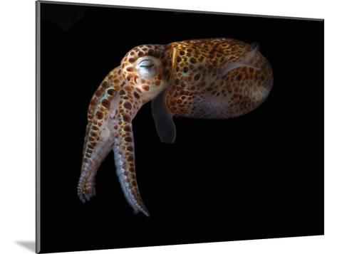 Dwarf Cuttlefish, Sepiola Species, it Has an Internal Shell, Derawan Island, Borneo, Indonesia-Darlyne A^ Murawski-Mounted Photographic Print