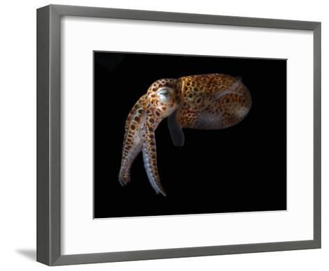 Dwarf Cuttlefish, Sepiola Species, it Has an Internal Shell, Derawan Island, Borneo, Indonesia-Darlyne A^ Murawski-Framed Art Print