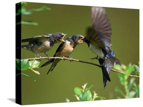 Barn Swallow Chicks, Hirundo Rustica, Being Fed by a Hovering Parent, Arlington, Massachusetts, USA-Darlyne A^ Murawski-Stretched Canvas Print