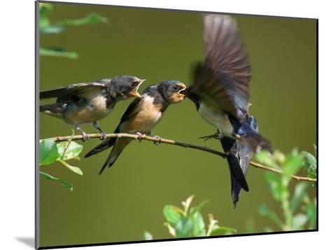 Barn Swallow Chicks, Hirundo Rustica, Being Fed by a Hovering Parent, Arlington, Massachusetts, USA-Darlyne A^ Murawski-Mounted Photographic Print