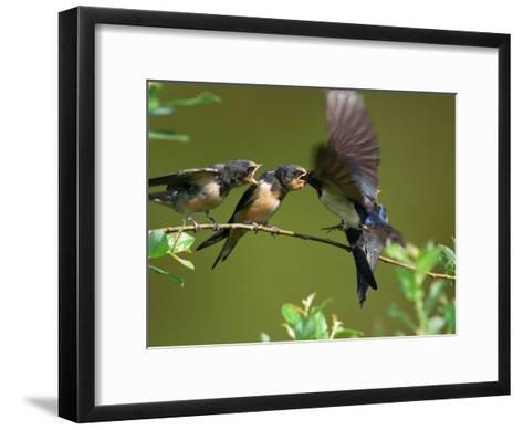 Barn Swallow Chicks, Hirundo Rustica, Being Fed by a Hovering Parent, Arlington, Massachusetts, USA-Darlyne A^ Murawski-Framed Art Print