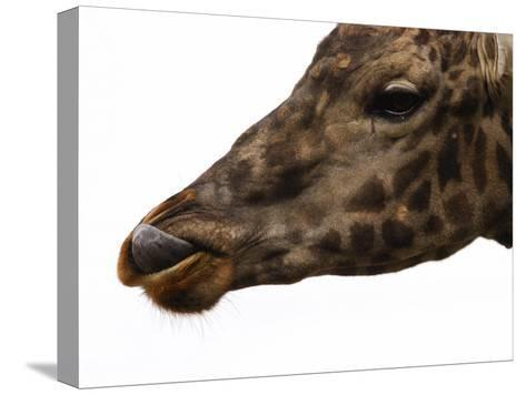 Captive Giraffe Licking its Lips at Meal-Time, Providence Zoo, Providence, Rhode Island-Darlyne A^ Murawski-Stretched Canvas Print