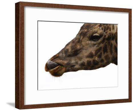 Captive Giraffe Licking its Lips at Meal-Time, Providence Zoo, Providence, Rhode Island-Darlyne A^ Murawski-Framed Art Print