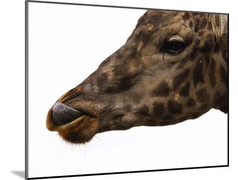 Captive Giraffe Licking its Lips at Meal-Time, Providence Zoo, Providence, Rhode Island-Darlyne A^ Murawski-Mounted Photographic Print