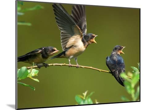 Three Barn Swallow Fledglings Begging for a Meal, Arlington, Massachusetts, USA-Darlyne A^ Murawski-Mounted Photographic Print