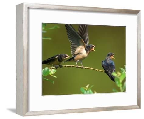 Three Barn Swallow Fledglings Begging for a Meal, Arlington, Massachusetts, USA-Darlyne A^ Murawski-Framed Art Print