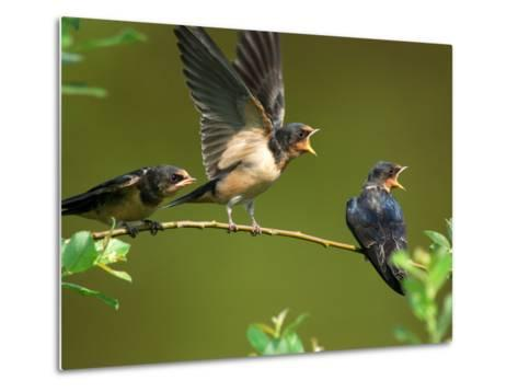 Three Barn Swallow Fledglings Begging for a Meal, Arlington, Massachusetts, USA-Darlyne A^ Murawski-Metal Print