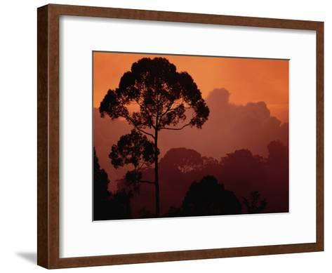 Sunset View of Shorea Trapezifolia, a Critically Endangered Tree Species-Darlyne A^ Murawski-Framed Art Print