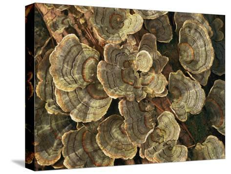 Close View of Turkey-Tail Fungi in Estabrook Woods, Concord, Massachusetts-Darlyne A^ Murawski-Stretched Canvas Print