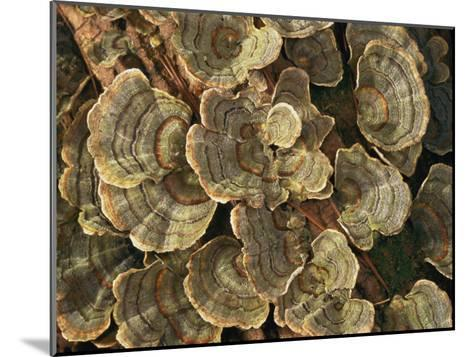 Close View of Turkey-Tail Fungi in Estabrook Woods, Concord, Massachusetts-Darlyne A^ Murawski-Mounted Photographic Print