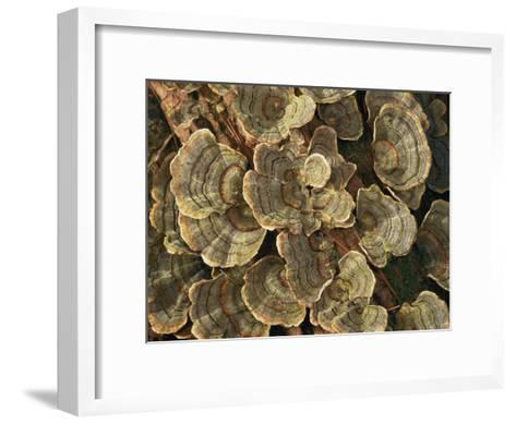 Close View of Turkey-Tail Fungi in Estabrook Woods, Concord, Massachusetts-Darlyne A^ Murawski-Framed Art Print