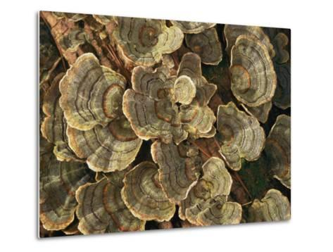 Close View of Turkey-Tail Fungi in Estabrook Woods, Concord, Massachusetts-Darlyne A^ Murawski-Metal Print