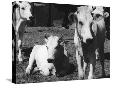 Calves-Vincenzo Balocchi-Stretched Canvas Print