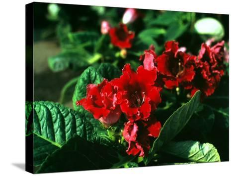 Rhododendron in Bloom-A^ Villani-Stretched Canvas Print