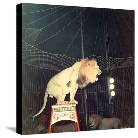 Lion Standing on a Pedestal Inside a Circus Cage Roaring-A^ Villani-Stretched Canvas Print