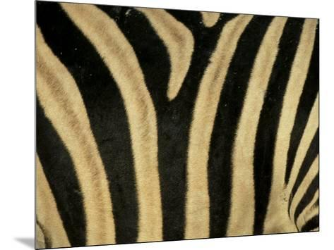 Close-Up of Zebra Skin, South Africa, Africa-Steve & Ann Toon-Mounted Premium Photographic Print