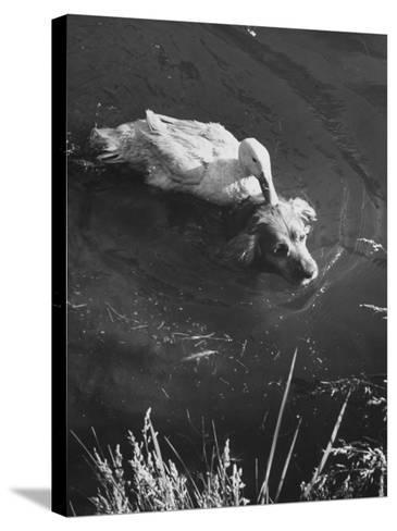 Donald, the Dog-Loving Duck, Hates Water But Takes a Ride on the Back of His Swimming Pal Rusty-Loomis Dean-Stretched Canvas Print