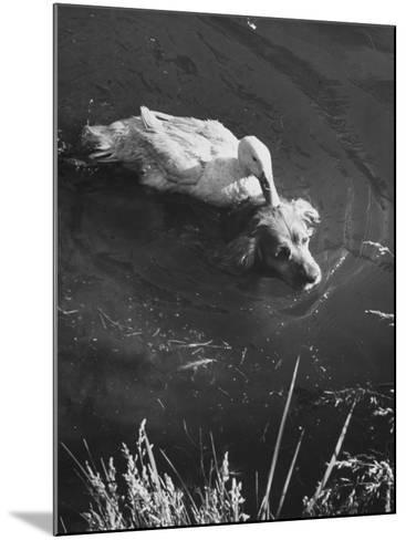 Donald, the Dog-Loving Duck, Hates Water But Takes a Ride on the Back of His Swimming Pal Rusty-Loomis Dean-Mounted Photographic Print
