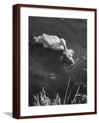 Donald, the Dog-Loving Duck, Hates Water But Takes a Ride on the Back of His Swimming Pal Rusty-Loomis Dean-Framed Art Print