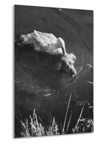 Donald, the Dog-Loving Duck, Hates Water But Takes a Ride on the Back of His Swimming Pal Rusty-Loomis Dean-Metal Print